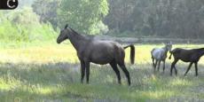 Embedded thumbnail for Dia Mundial do Ambiente 2015   Quinta do Pisão recebe cavalos lusitanos